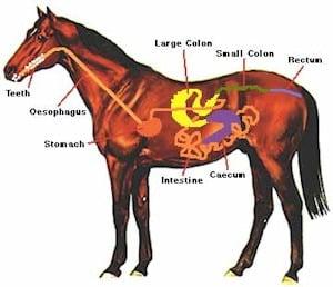 Immunsystem: Der innere Schutzschild deines Pferdes